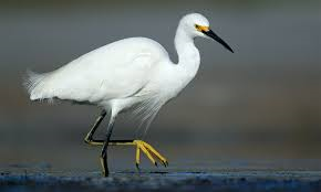 The rare Snowy Egret which dropped into Cape Town.