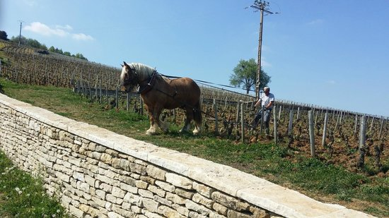 Keeping it real: a horse doing the ploughing in the DRC vineyard.