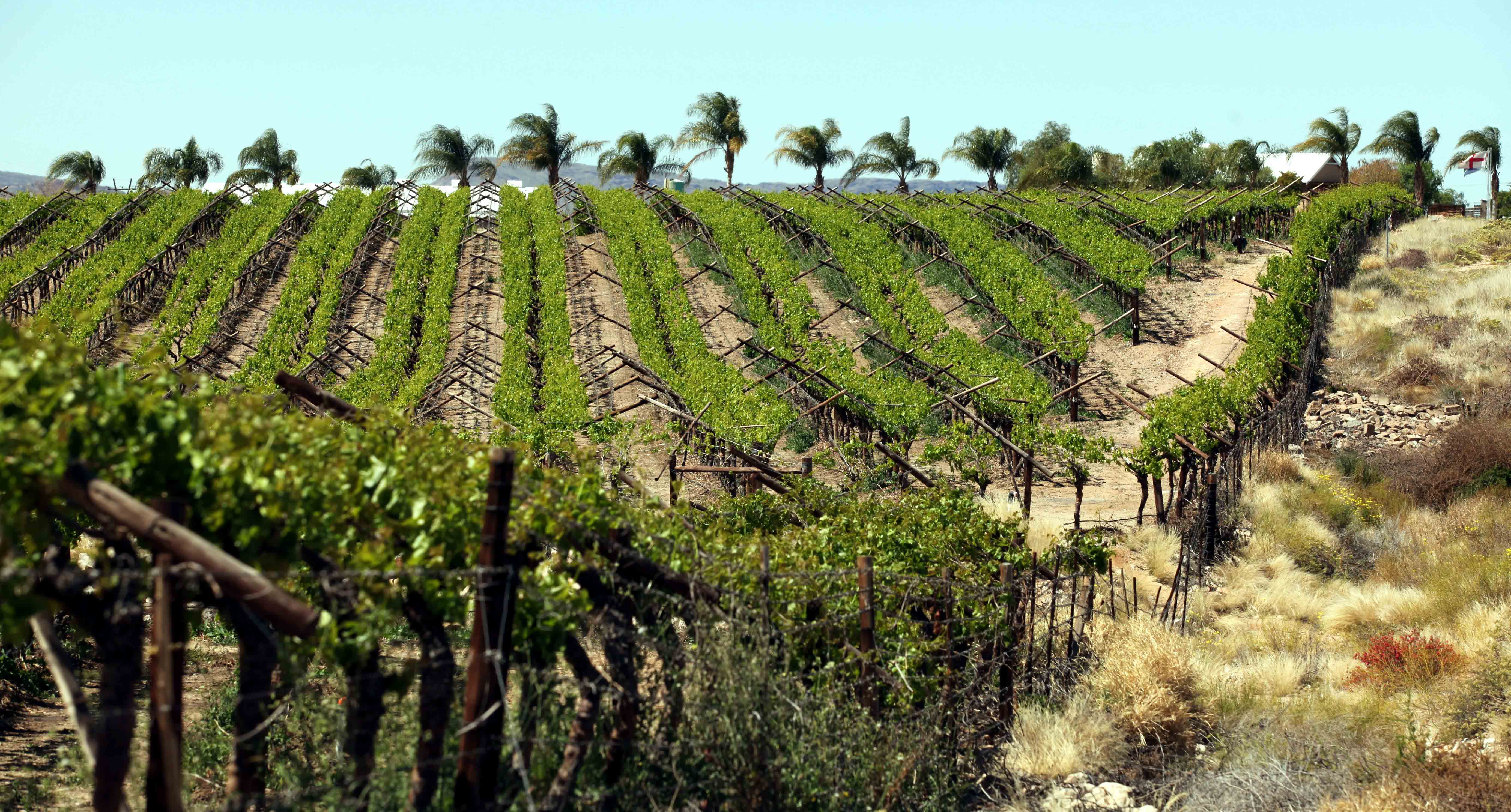 Orange River Vineyards.